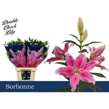 liilia or sorbonne.jpeg