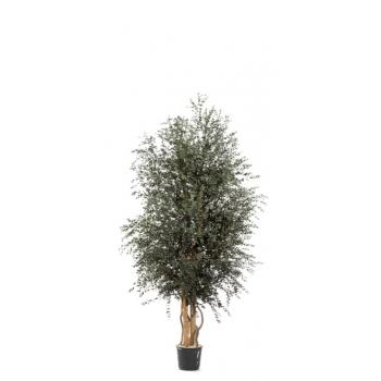 WPA0113-1-wide-parvifolia.jpg