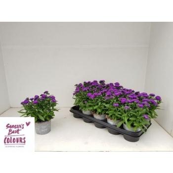 product/webshop.holland-flower.com/118502-12-X3402337_H_2.jpg