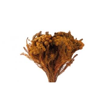 BRU9333-2-brunia-albiflora.jpg