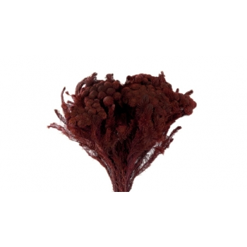 BRU9713-2-brunia-albiflora.jpg