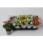 Kalanchoe blossfeldiana double rose flowers mixed 10,5cm
