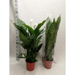 Spathiphyllum Tõlvlehik 27cm Sweet Sebastiano