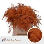 Asparagus 45cm värvitud Orange