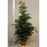 Ficus benjamina 27cm Viigipuu Danielle