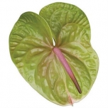 Anthurium Flamingolill Verino*10
