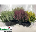 Calluna vulgaris callu nova mixed 7 colour 17cm