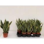Sansevieria trifa. ´Futura Superba´ 12cm
