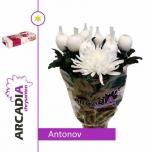 Chrysanthemum Krüsanteem Antonov