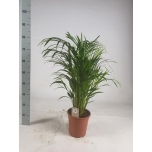 Chrysalidocarpus Kuldviljakpalm 21cm