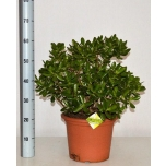 Crassula Turdleht 30cm