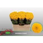 Chrysanthemum Krüsanteem Santini Maverick Sunny