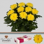 Chrysanthemum Krüsanteem Zembla Yellow