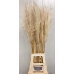 Cortaderia Pamparohi 120cm Silver Mountain