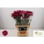 Dianthus Carnation Nelk Nautilus