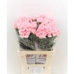 Dianthus Carnation Nelk Pink Montezuma