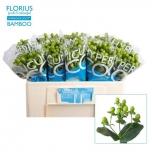 Hypericum 50cm Coco Bamboo