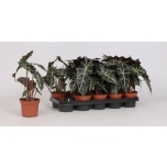 Alocasia amazonica ´Polly´ 12cm