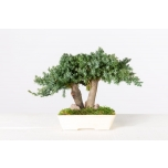 Stabiliseeritud BONSAI JUNIPERUS MINI