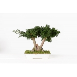 Stabiliseeritud BONSAI JUNIPERUS PEQ.