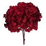Stabiliseeritud Hortensia RED