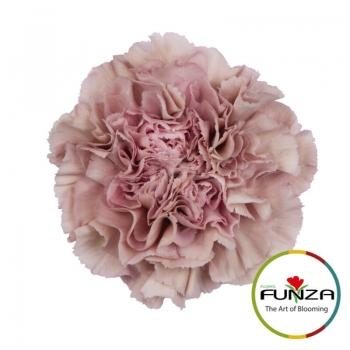 lege_pink_-flores_funza.jpg