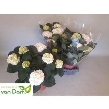 product/img.ozexport.nl/125077-21-LIVE_fotos-0x02CEF065F74183571D350CD3886794DBBD7050BC.jpg