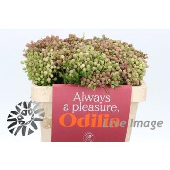 product/img.ozexport.nl/20805-50-LIVE_fotos-Partijfoto-00041848520.jpg