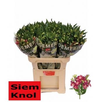 product/img.ozexport.nl/LALSFLONOA-LIVE_fotos-0x65968534EE62CABF454869BDC94F5B8DFFE81A91.jpg