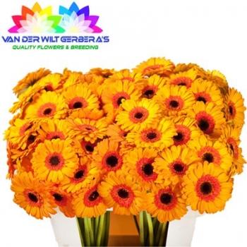 product/img.ozexport.nl/LGERMJAZ-LIVE_fotos-0x27757FE57333B14FD45FEB5DF2F9297FD8A29DDA.jpg
