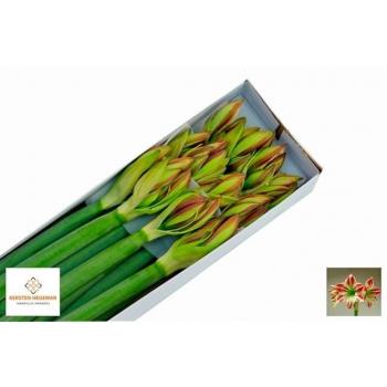 product/img.ozexport.nl/LHIPAMB-LIVE_fotos-0x9B3F54CBA5923916D90C08F83D2373D4AAD0AC5F.jpg