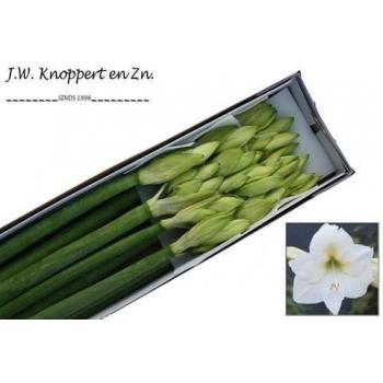 product/img.ozexport.nl/LHIPMOB-ASSORTI_fotos-MVA-Knoppert Hippeastrum mont blanc.jpg