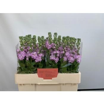 product/img.ozexport.nl/LLEVMATP-LIVE_fotos-0xE42EB677F31E96A1EC8B09FAEEBEC997363DE29C.jpg