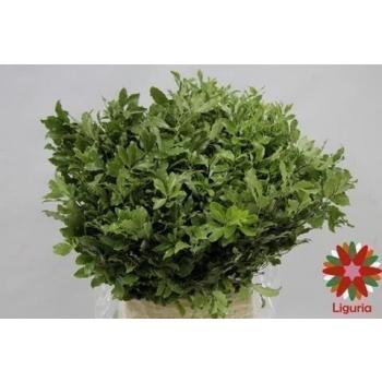 product/img.ozexport.nl/LPITN-ASSORTI_fotos-Magnet-Blad pittosporum green 55cm 200gr.JPG