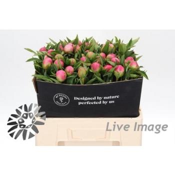 product/img.ozexport.nl/LPOJPINHC-LIVE_fotos-Partijfoto-00039544225.jpg