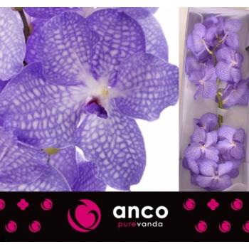 product/img.ozexport.nl/LVANANG-LIVE_fotos-0xFB3B9BD1C3A6199A535668DFFB39C925CAA4CC10.jpg