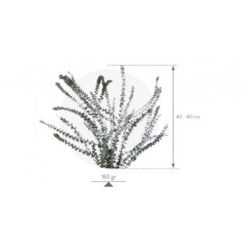BBL4103-4-eucalipto.png