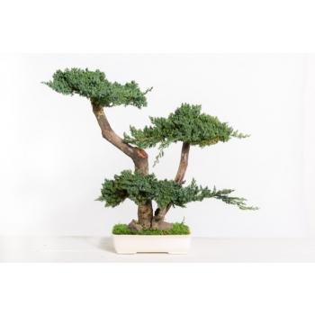 BJU50-1-bonsai-procumbens.jpg