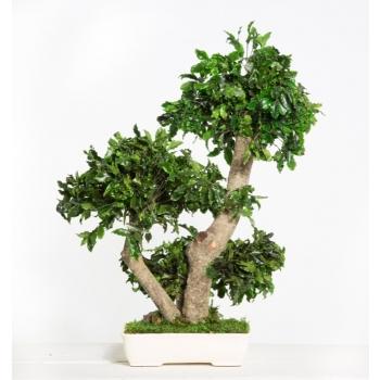 BPI50-1-bonsai-tobira-tenuifolium.jpg