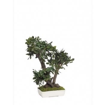 BTO50-1-bonsai-tobira-tenuifolium.jpg