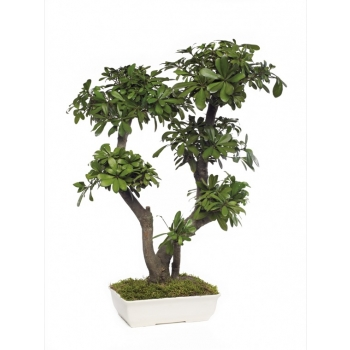 BTO70-1-bonsai-tobira-tenuifolium.jpg