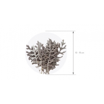 CIF0102-4-cineraria-leaves.png
