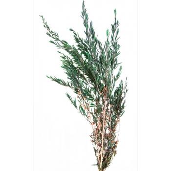 LPL9104-02-lepto-lungifolia.jpg