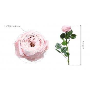 PRGB6400-04-rosa-tallo-jardin.jpg