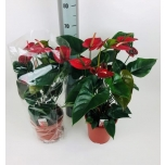 Anthurium And Bugati Red 21cm