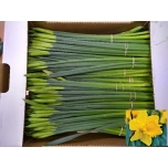Narcissus Nartsiss Gold Harvest*10