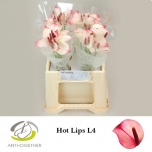 Anthurium Flamingolill Hot Lips