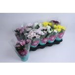 Chrysanthemum indicum grp mixed 12cm