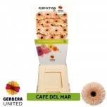 Gerbera Cafe del Mar*15