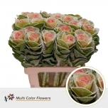 Brassica Kapsas 60cm värvitud Marshmallow